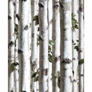 Young birches forest wallpaper